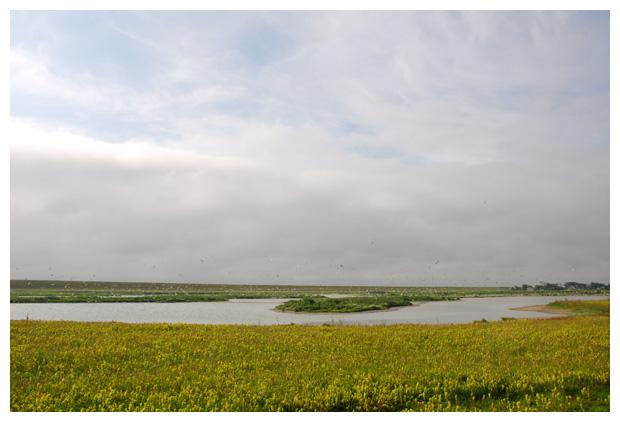 foto's, Grote stern (Sterna sandvicensis), meeuw
