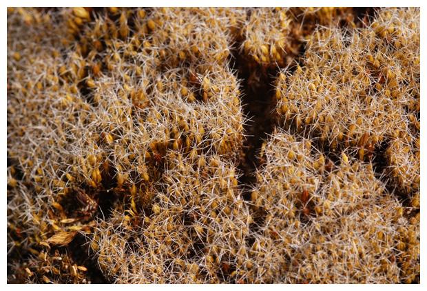 Grijs kronkelsteeltje, Cactusmos of Tankmos (Campylopus introflexus)