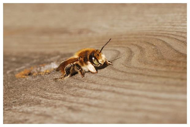 foto´s, Kustbehangersbij (Megachile maritima), bij