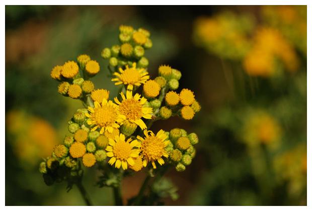 foto´s, Jakobskruiskruid, Jakobskruid, (Jacobaea vulgaris), plant