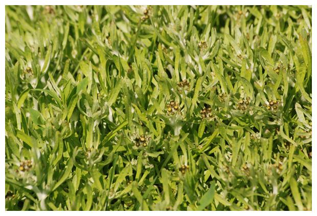 foto´s, Moerasdroogbloem (Gnaphalium uliginosum), plant