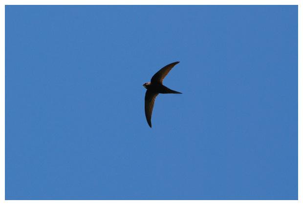 foto´s, Gierzwaluw (Apus apus), zwaluw