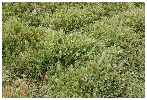 foto's, Gewone zoutmelde of Zeemelde (Atriplex portulacoides), plant kwelders
