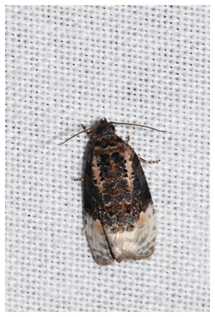 foto's, Zwartwitte marmerbladroller (Apotomis turbidana), nachtvlinder