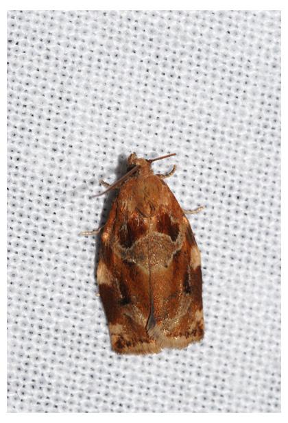 foto's, Gevlamde bladroller (Archips xylosteana), nachtvlinder