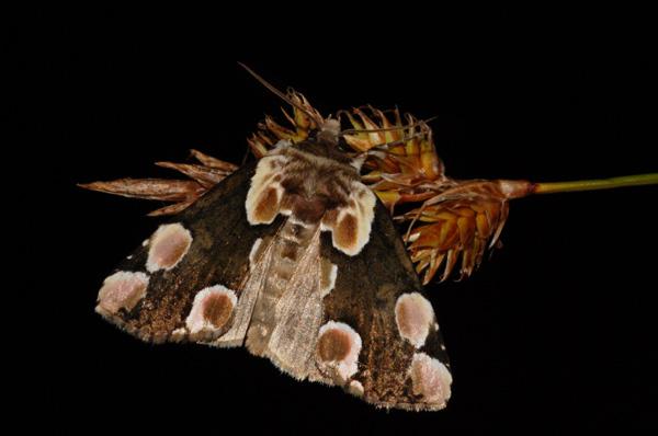 foto's, Braamvlinder (Thyatira batis), vlinder