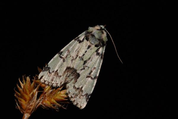 foto´s, Gevlekte groenuil (Moma alpium), nachtvlinder