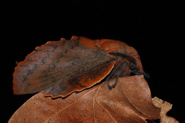 foto's, Eikenblad (Gastropacha quercifolia), nachtvlinder