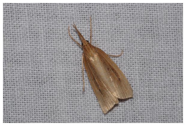 foto's, Rietmot (Chilo phragmitella), nachtvlinder