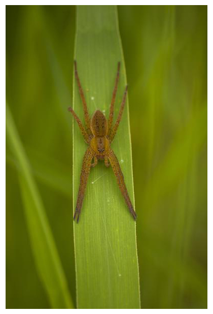 foto's, Grote oeverspin (Dolomedes plantarius), spin