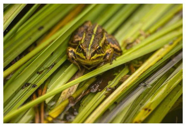 foto's, Groene kikker (Pelophylax spec.)