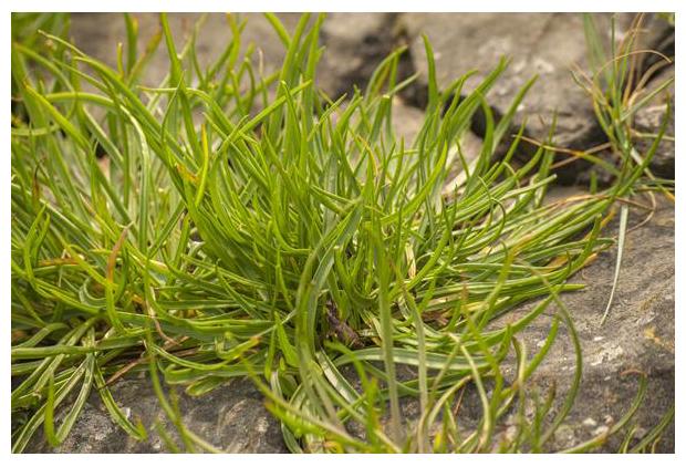foto´s, Schorrenzoutgras (Triglochin maritima), plant