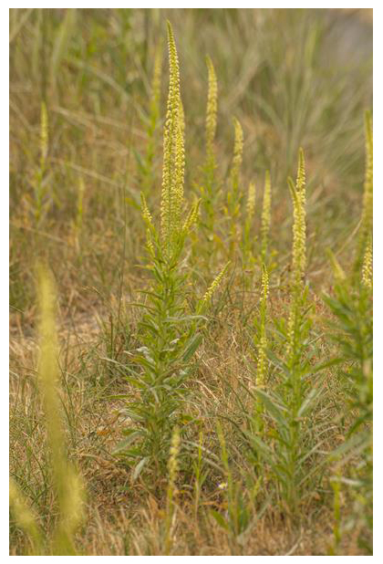 foto´s, Wouw (Reseda luteola), plant, duinen