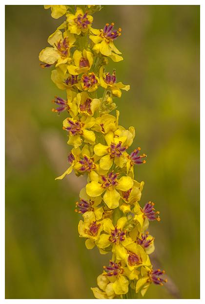 foto's, Zwarte toorts (Verbascum nigrum), plant