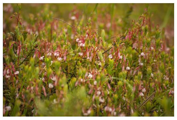 foto's, Cranberry, Grote veenbes of Lepeltjesheide (Vaccinium macrocarpon), hei