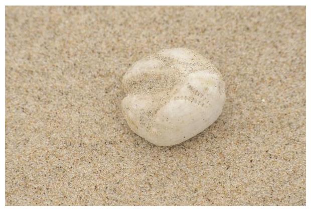 foto's, diverse soorten, verschillende zee-egels, Zeeklit of Hartegel (Echinocardium cordatum), zee-egel