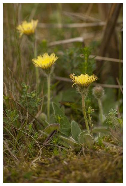 foto's, Vals muizenoor (Pilosella peleteriana), plant
