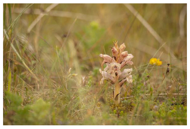 foto's, Walstrobremraap (Orobanche caryophyllacea), plant