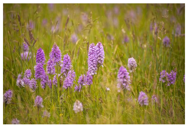 foto´s, Gevlekte orchis (Dactylorhiza maculata subsp. maculata), orchidee