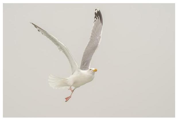 foto's, Zilvermeeuw (Larus argentatus), meeuw