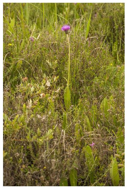 foto's, Spaanse ruiter (Cirsium dissectum), distel