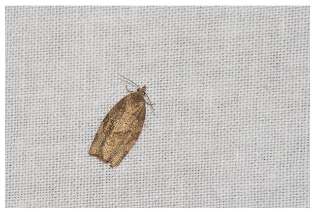 foto's, Leverkleurige bladroller (Pandemis heparana), nachtvlinder
