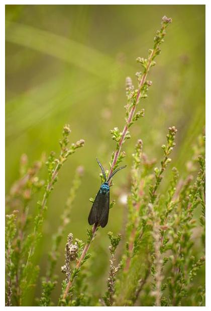 foto's, Bruine metaalvlinder (Rhagades pruni), nachtvlinder