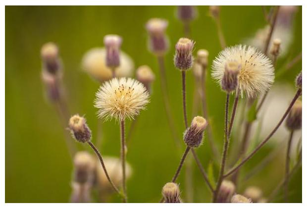 foto's, Scherpe fijnstraal (Erigeron acris), bloem