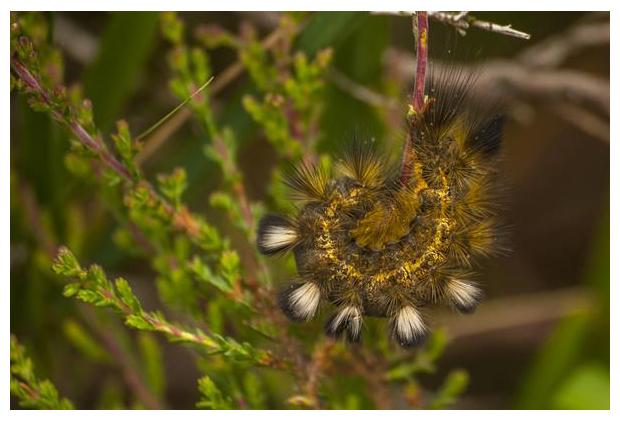 foto's, Grauwe borstel (Dicallomera fascelina), rups, nachtvlinder