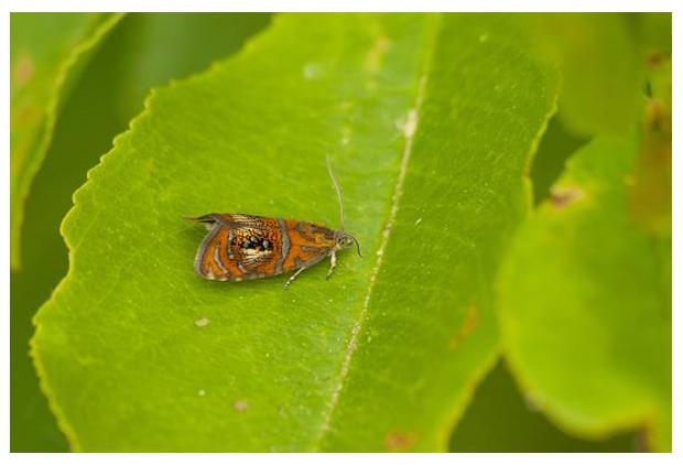 foto's, Geisha of Geishamotje (Olethreutes arcuella), nachtvlinder