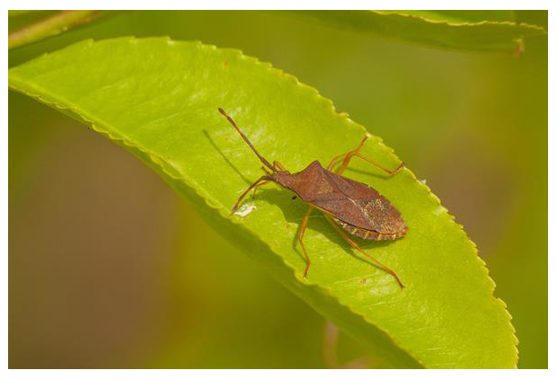 foto, Smalle randwants (Gonocerus acuteangulatus), wants