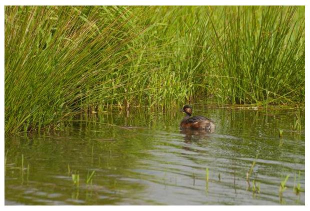 foto's, Geoorde fuut (Podiceps nigricollis), vogel