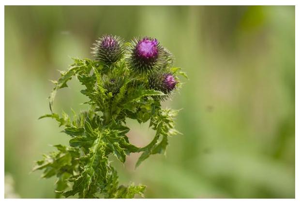 foto's, Kruldistel (Carduus crispus), distel