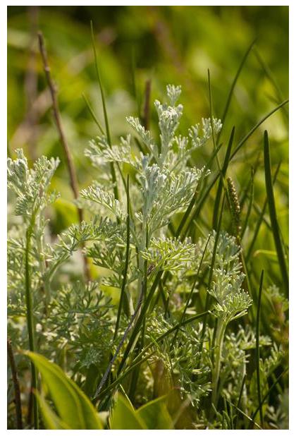 foto´s, Zeealsem (Artemisia maritima), plant