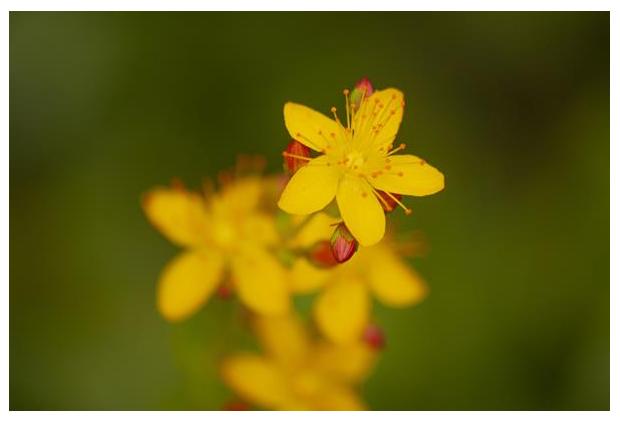 foto's, Fraai hertshooi (Hypericum pulchrum), plant