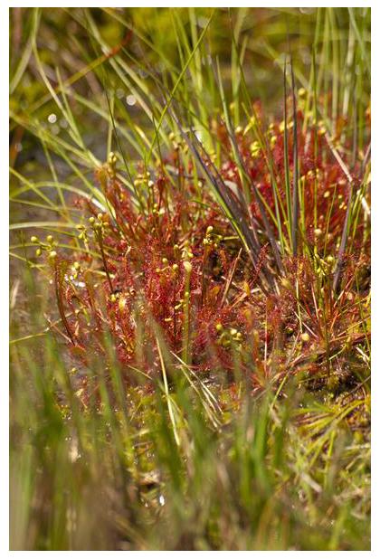 foto's, Kleine zonnedauw (Drosera intermedia), vleesetende plant