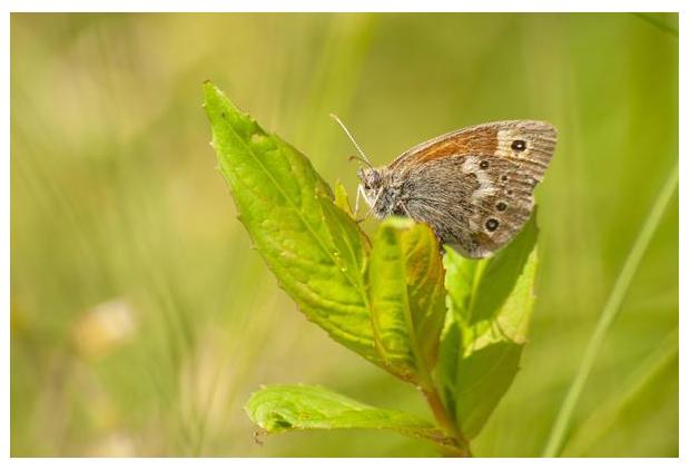 foto's, Veenhooibeestje (Coenonympha tullia), vlinder