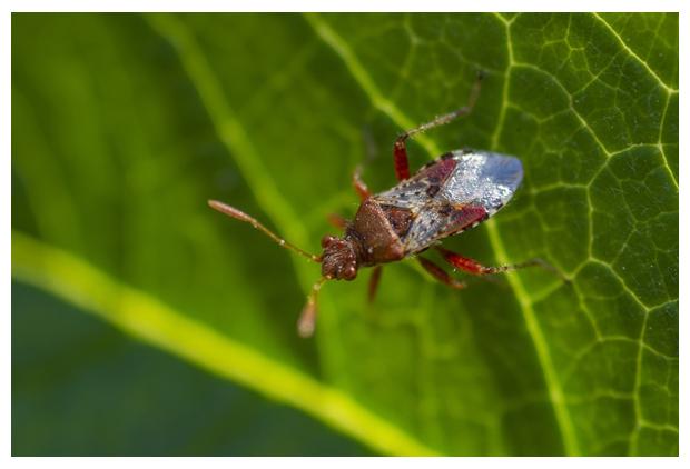 foto's, Geblokte glasvleugelwants (Rhopalus subrufus), wants