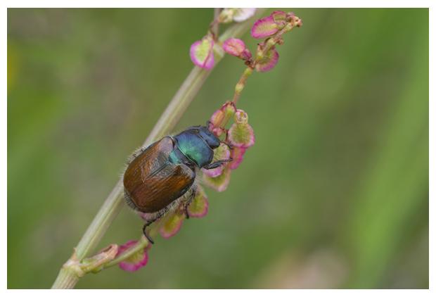 foto's, Johanneskever, rozenkever of tuinkever (Phyllopertha horticola), kever
