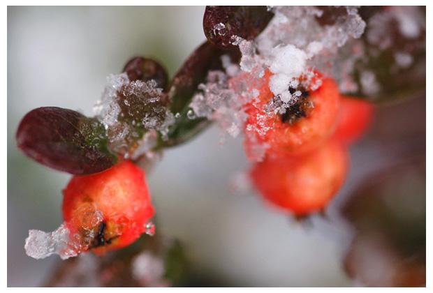 rotsmispel (cotoneaster), bessen