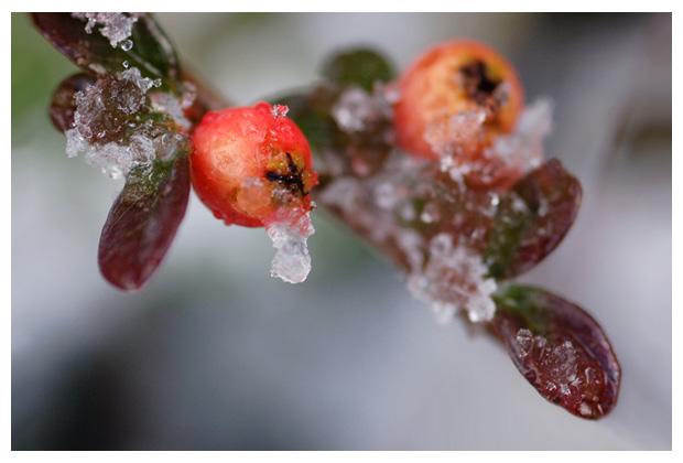 rotsmispel (cotoneaster), rotsmispels, bes, bessen, besjes, bessenfoto´s, vast, vaste, vasteplant, vasteplanten, plant, planten, plantenfotos, plantenfoto´s