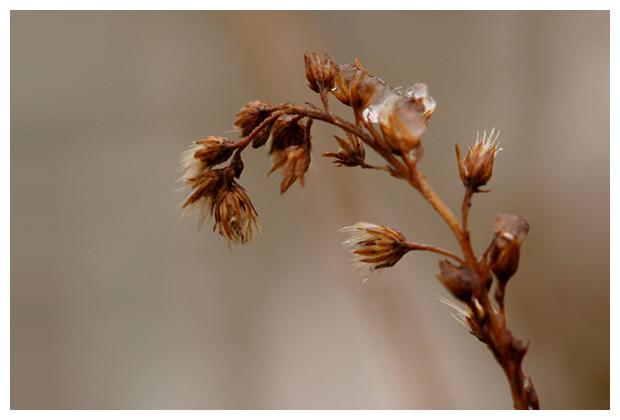 foto's, Guldenroede (Solidago), plant