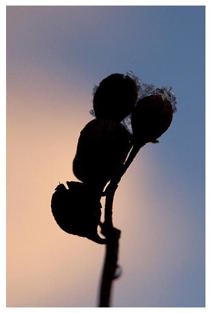 foto's Boerenjasmijn (Philadelphus), struik