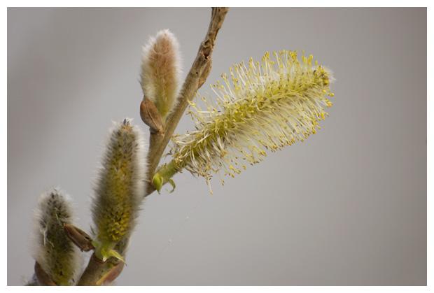 boswilg (Salix caprea), waterwilg, wilgenfamilie (Salicaceae), tweehuizig, mannelijke, plantengeslacht