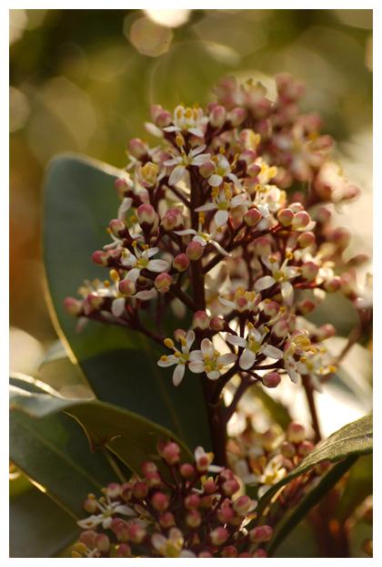 foto's, Skimmia (Skimmia japonica 'Rubella')