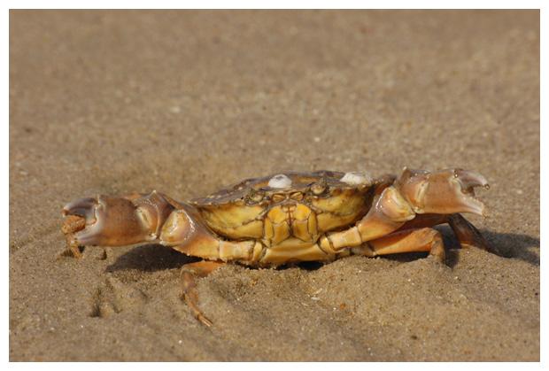 foto´s, diverse soorten, verschillende Krabben, Kreeften en Garnalen