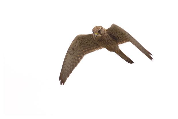 foto's, Torenvalk (Falco tinnunculus), vogel