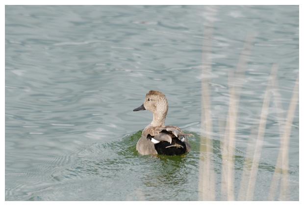 foto's, Krakeend (Anas strepera), vogel