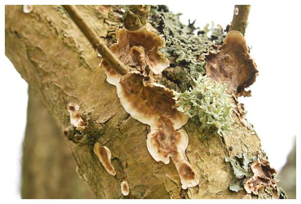 foto's, Twijgkorstzwam (Stereum ochraceoflavum), paddenstoel
