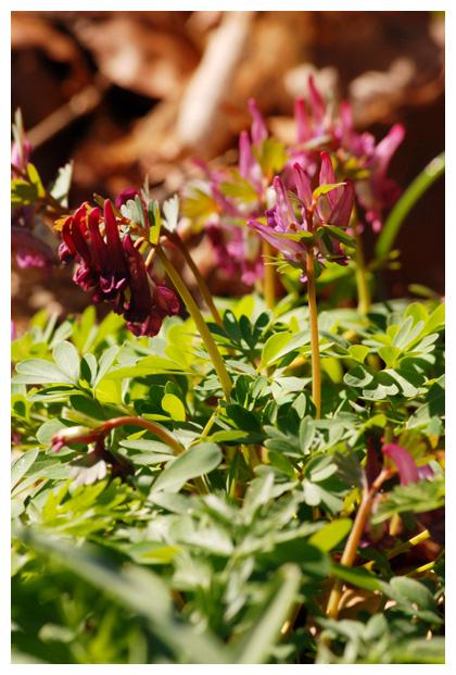 foto´s, Vingerhelmbloem (Corydalis solida), plant